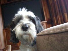 Max the Tibetan Terrier