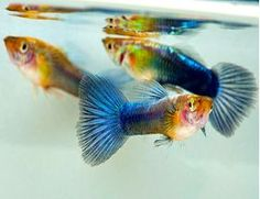 Neon Blue Guppy Male Poecilia reticulata. Visit us today at azgardens.com Best prices. Best selection. Best quality. 100% guaranteed.