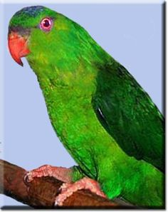The Meeks lorikeet Charmosyna meeki is a species of parrot in the family Psittaculidae It is found on Bougainville Island in Papua New Guinea and the Solo Solomon Islands, Papua New Guinea, Parrots, Livestock, Farm Life, Farm Animals, Pet Birds, Habitats, Wildlife