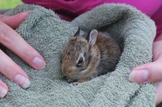 How to Nurse or Care for a Wild Baby Rabbit --- My little sis found two this afternoon! They're so stinking cute!!! @Grace Hall