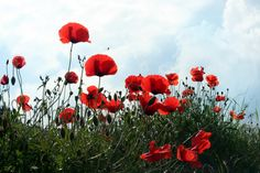 #Coquelicots #red