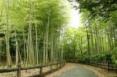 4月28日【モウソウチク(孟宗竹)】 学名:Phyllostachys heterocycla f. pubescens 形態:常緑樹 樹高:高木(日本のタケ類の中で最大) 分類:イネ科 花色:黄緑色(花はめったに咲かない) 使われ方:和風の風合いを出すことを目的として庭園、旅館等の施設の庭木として使われています。 (※写真はイメージです)