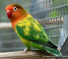 African Lovebirds Parrots Parakeets Colorful Birds Love Birds Finches Animals