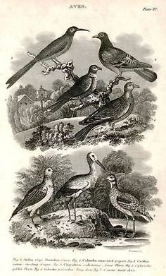 "AVES from ""Nicholson's Cyclopedia"" 1819 - PIGEON & DOVE Antique Print"
