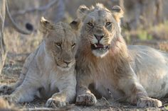 Two young Lions being affectionate