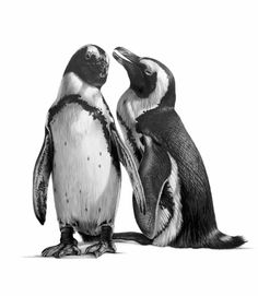 Black And White Wildlife Art By Wildlife Artist Richard Symonds - Stunning drawings of endangered wild animals by richard symonds
