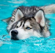 baby husky Pets have more love and compassion in them than most humans. huskies husky dog husky adoption a husky dog a husky puppy husky breeds husky baby husky blue eyes husky colors Siberian Husky Puppies, Husky Puppy, White Siberian Husky, Husky Breeds, Dog Breeds, Cute Funny Animals, Cute Baby Animals, Baby Huskys, Husky With Blue Eyes