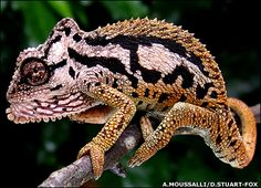 From The Featured Creature:  Transvaal Dwarf Chameleon