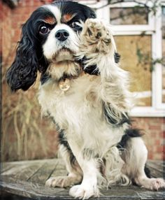 Caviliers are the best dogs <3  Tri-colors especially Love King Charles Cavalier  dogs! Nike was our first and we miss her! Rb