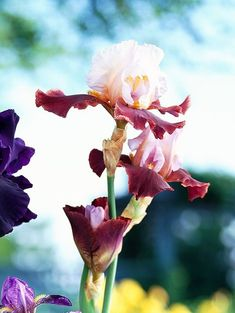 How to Grow, Maintain, and Divide Bearded Iris bearded iris latin hideaway Easy To Grow Flowers, Growing Flowers, Iris Garden, Garden Plants, Herb Gardening, Iris Rhizomes, Bearded Iris, Garden Borders, Iris Flowers