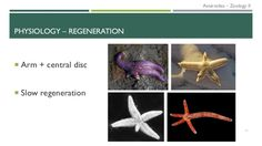 Echinoderms - Asteroidea: phylogeny, anatomy, physiology and ecology