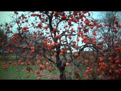▶ Persimmon Trees For Sale $3.00 From Tn Tree Nursery - YouTube