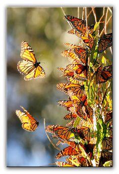Monarch Butterflies, Natural Bridges, Santa Cruz, California.  A Meeting of Kings by Joshua Cripps