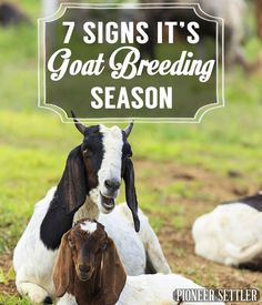 7 Signs It's Goat Breeding Season Goats and Sheep Tips and Ideas Pioneer Settler Raising Sheep, Choosing Sheep Breeds and Sheep Farming Tips Breeding Goats, Animal Breeding, Miniature Cattle, Raising Goats, Raising Rabbits, Goat Care, Dwarf Goats, Sheep Breeds, Goat Farming