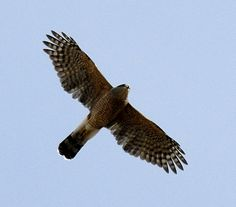 Cooper's Hawk (aka Red-Tailed Hawk and Chicken Hawk) in flight.