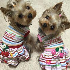 ボーダーニットのワンピです。名前プリントしましたいちご首傾けすぎだよ〜 #いちごみるく#ヨーキー#ヨークシャテリア#YorkshireTerrier#yorkie#today#handmade #手作り#犬服#洋服#犬の洋服#愛犬#dog