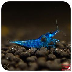 Blue Dream / Blue Velvet Shrimp