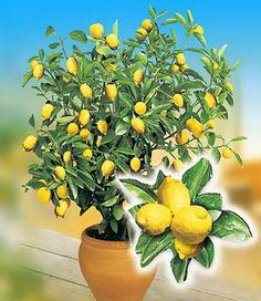 Zitronen-Bäumchen