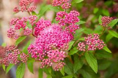 17 Low-Maintenance Plants and Dwarf Shrubs If you're lacking a green thumb or your schedule is holdi Low Maintenance Landscaping, Low Maintenance Garden, Landscape Maintenance, Flowering Shrubs, Trees And Shrubs, Pruning Shrubs, Garden Shrubs, Evergreen Shrubs, Big Flowers