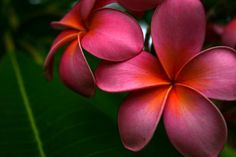 plumeria flowers tattoos meaning   Hawaiian Flower Tattoos Orchid Plumeria And Hibiscus Tattoo Page 12