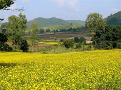Mustard fields, somewhere in Orissa Abstract Landscape Painting, Landscape Paintings, Yellow Fields, India Architecture, Wild Flowers, Mustard, Grass, Nature, Pictures