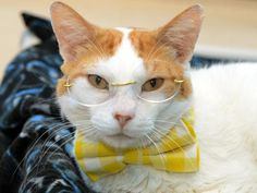 1/24/17 * Meet Peepers, an adoptable Domestic Short Hair - orange and white looking for a forever home. Cat • Domestic Short Hair - orange and white & Tiger Mix • Adult • Male • Medium  Seminole County Animal Services Sanford, FL * Peepers is a handsome 4 year old male. He came to the shelter because his owner could no longer care for him. He'd love a new home to call his own! Peepers weighs 10 pounds, gets along well with other cats, and he is already neutered.