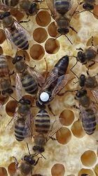 Revolution in fighting the Varroa mites using ultrasound!