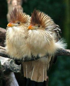 Guira Cuckoo (Guira guira) is a social, non-parasitic cuckoo: east/south Brazil, Uruguay, Paraguay, Bolivia, north-eastern Argentina
