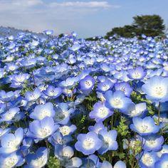 ネモフィラの花(茨城/国営ひたち海浜公園) #japan #trip #flower