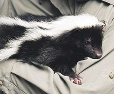 EnduraPet - How to (really) remove skunk smell.