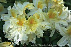 Azaleas - A memory of colour