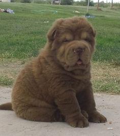 Chocolate Bear Coat Shar Pei Puppy