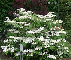 VIBURNUM plicatum 'Mariesii' 4*4, tous sol et humifère, coloration automnale