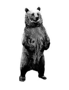 Bear Standing Up. Wildlife Digital Engraving Image by digitaleclectic