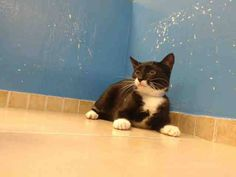 TO BE DESTROYED 9/11/13 Brooklyn Center  My name is MAXI. My Animal ID # is A0977735. I am a female black and white domestic sh mix. The shelter thinks I am about 5 MONTHS old. https://www.facebook.com/photo.php?fbid=662412397103929&set=a.576546742357162.1073741827.155925874419253&type=3&theater