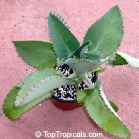 Kalanchoe crenato-daigremontiana or Mother of Thousands, Mother of Millions, Devils Backbone, Mexican Hat Plant. I have 5 seedlings of these currently growing!
