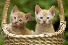Image result for kittens in basket