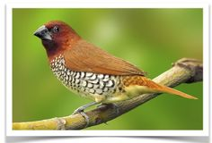Spice Finches for Sale at www.thefinchfarm.com! Also called Nutmeg Mannikin, Scaly Breasted Munia and Spotted Munia, the Spice Finch is a sparrow-sized estrildid finch native to tropical Asia. The species is highly social and may sometimes roost with other species of munias. DNA testing is available to ensure gender if desired. http://www.thefinchfarm.com/spice-finch/
