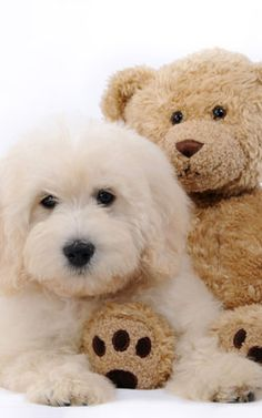 I want a goldendoodle