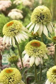 Echinacea purpurea 'Coconut Lime',  coneflower, full sun, most soils, except very dry or boggy Flowering period: July to September, fully hardy