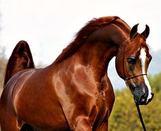 Arabian stallion, Eden C.