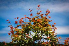 Pacific Fire Vine Maple For Sale Dwarf Trees, Winter Plants, Acer Palmatum, Maple Tree, Japanese Maple, Garden Soil, Small Trees, Winter Colors, Bonsai