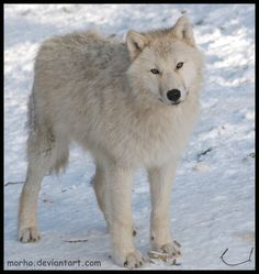 curious wolf cub by morho.deviantart.com on @deviantART