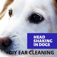 my dog keeps shaking his head remedy Dog Keeps Shaking Head, Whoodle Dog, Tiny Dog Breeds, Dog Growling, Dog Commands, Dog Paws, Small Dogs, Pet Care, Animal Rescue