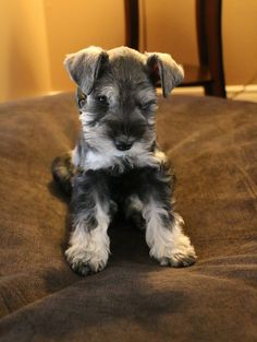 Chumpie the Miniature Schnauzer Source by DogPerDay The post Chumpie the Miniature Schnauzer ~ DogPerDay ~ Cute puppy pictures, dog photos, cute videos, holistic pet care appeared first on Bennett Dogs. Schnauzers, Miniature Schnauzer Puppies, Schnauzer Puppy, Schnauzer Grooming, Goldendoodle, Fox Terriers, Dog Hotel, Cute Dogs And Puppies, Pug Dogs