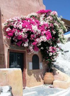 bougainvillea                                                                                                                                                                                 Mais