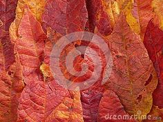 Autumn red colored leaves background