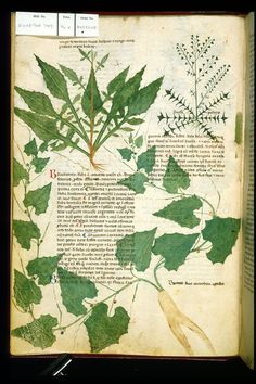 Sorrel, Shepherd's Purse, and White Bryony    Miniature of a brictanica, or sorrel plant; miniature of a bursa pastoris, or shepherd's purse plant; miniature of a brionia, or white bryony plant.     Manuscript - Egerton 747. Origin: Italy, S. (Salerno)