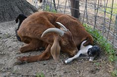 Stages of Goat Pregnancy. Great blog for all things goat health.