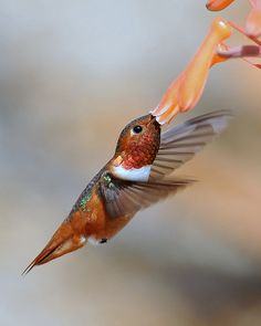 "A good hummingbird photographer can capture these surreal stills. Even looking at a hummingbird up-close and in-person couldn't show you the detail of how beautifully they fly. ""A Rufous Hummingbird"""